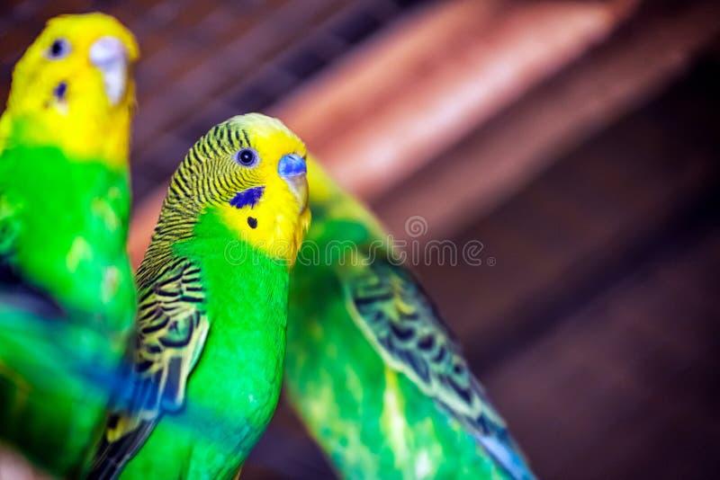 Papagaio verde-amarelo bonito fotos de stock
