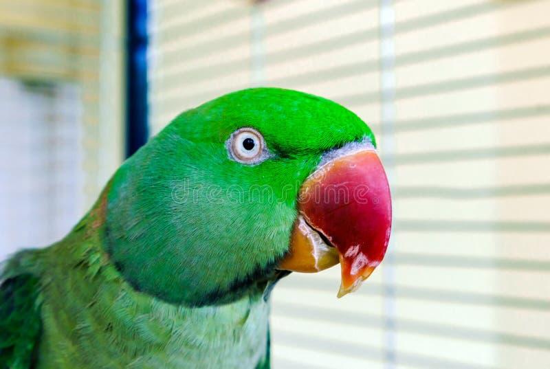 Papagaio verde bonito que vive em casa imagens de stock