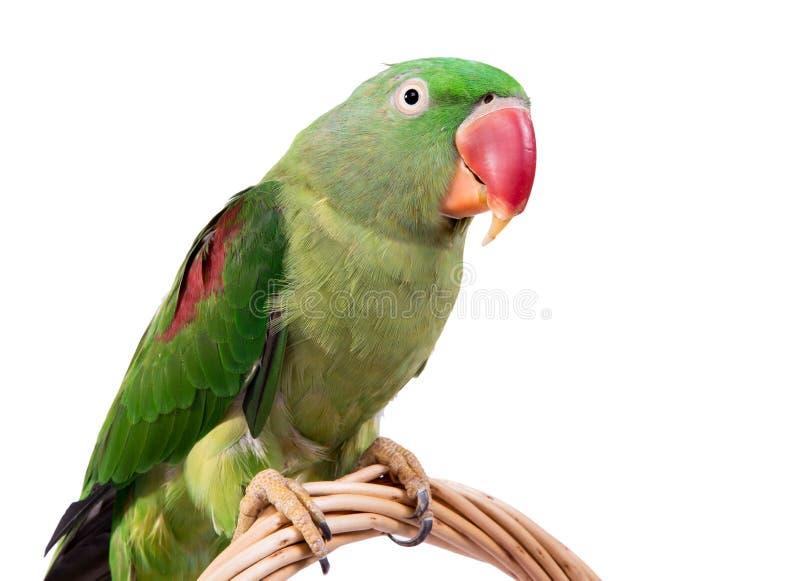 Papagaio verde grande rodeado ou do alexandrino imagens de stock