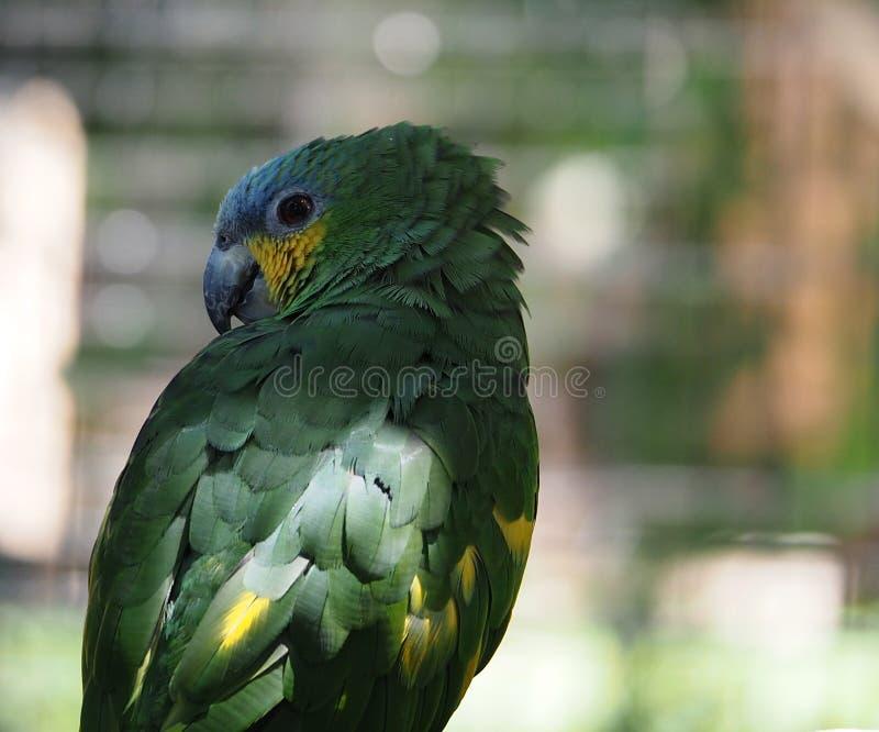 Papagaio verde pequeno na gaiola imagens de stock royalty free
