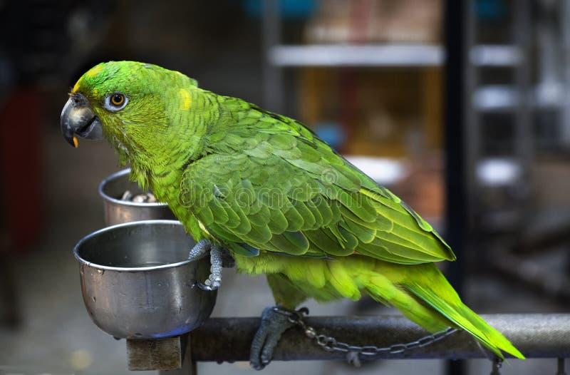 Papagaio verde que come o mercado do pássaro de Hong Kong da semente foto de stock royalty free