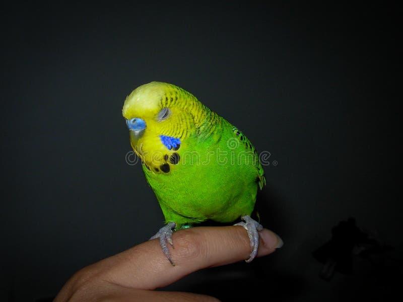 Papagaio verde que dorme no dedo imagem de stock