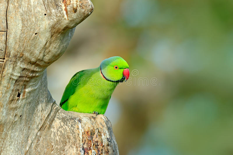 Papagaio verde que senta-se no tronco de árvore com fundo verde periquito Rosa-rodeado, krameri do Psittacula, papagaio bonito na foto de stock royalty free