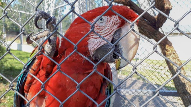 Papagaio vermelho atr?s das grades imagem de stock royalty free
