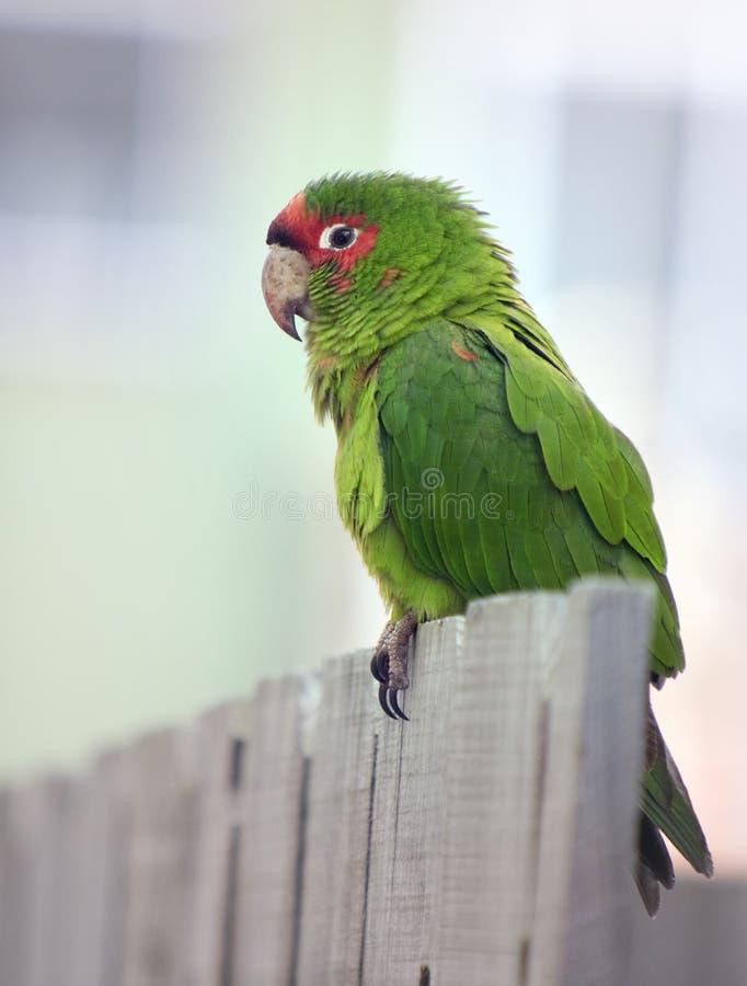 Papagaio Vermelho-Coroado de Amazon fotografia de stock royalty free