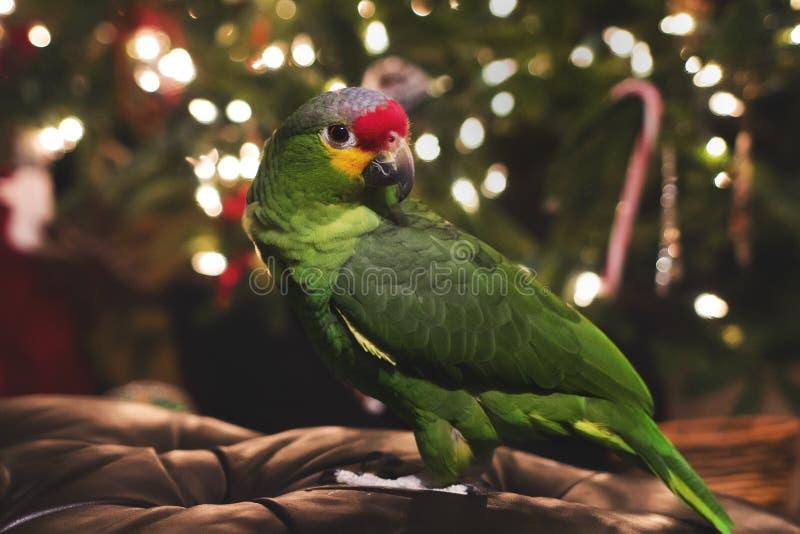 Papagaio vermelho das Amazonas de Lored imagem de stock