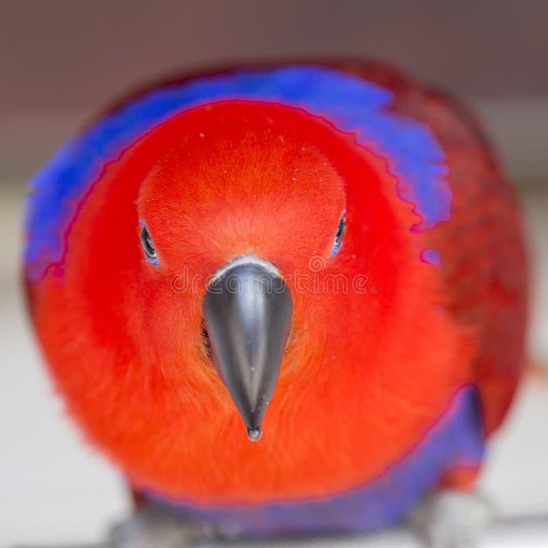 Papagaio vermelho do balsamina de Impatiens foto de stock royalty free