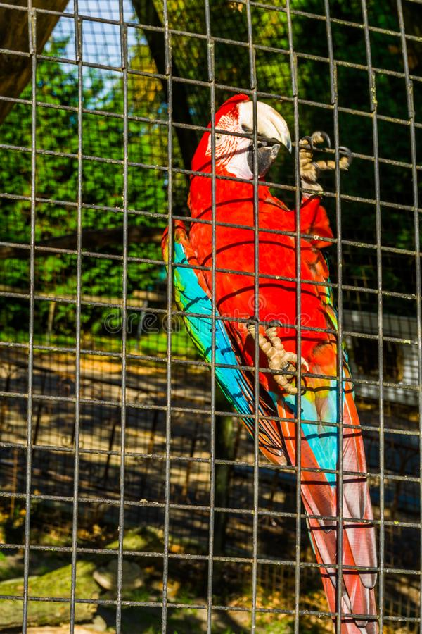 Papagaio vermelho e verde que senta-se contra a cerca do aviário, pássaro tropical da arara de América, animal de estimação  imagens de stock royalty free
