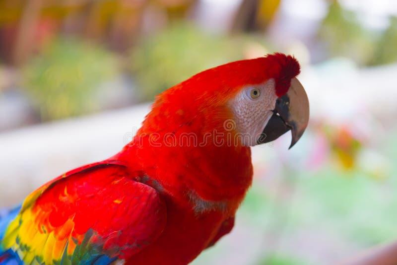 Papagaio vermelho grande da arara com um bico grande fotografia de stock royalty free