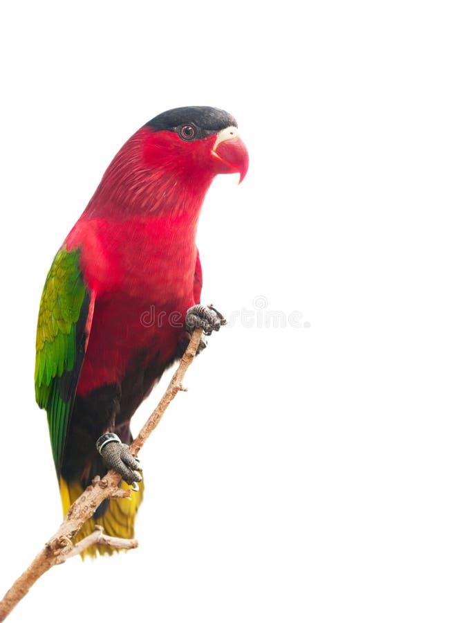 Papagaio vermelho isolado no branco imagens de stock