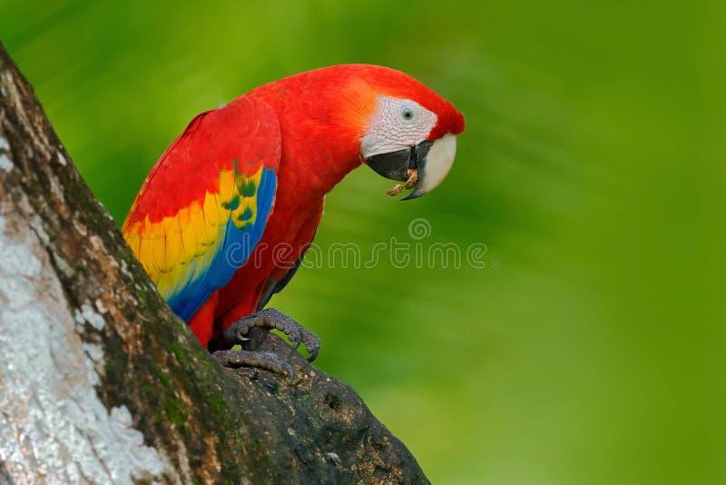Papagaio vermelho no furo do ninho Repita mecanicamente o escarlate da arara, aros macao, na obscuridade - floresta tropical verd fotos de stock royalty free