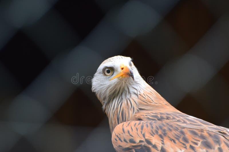 Papagaio vermelho prisioneiro na gaiola imagens de stock