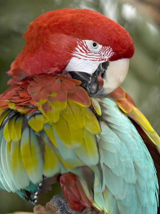 Papagaio voado vermelho e verde ou verde 3 do pássaro do macaw fotografia de stock royalty free