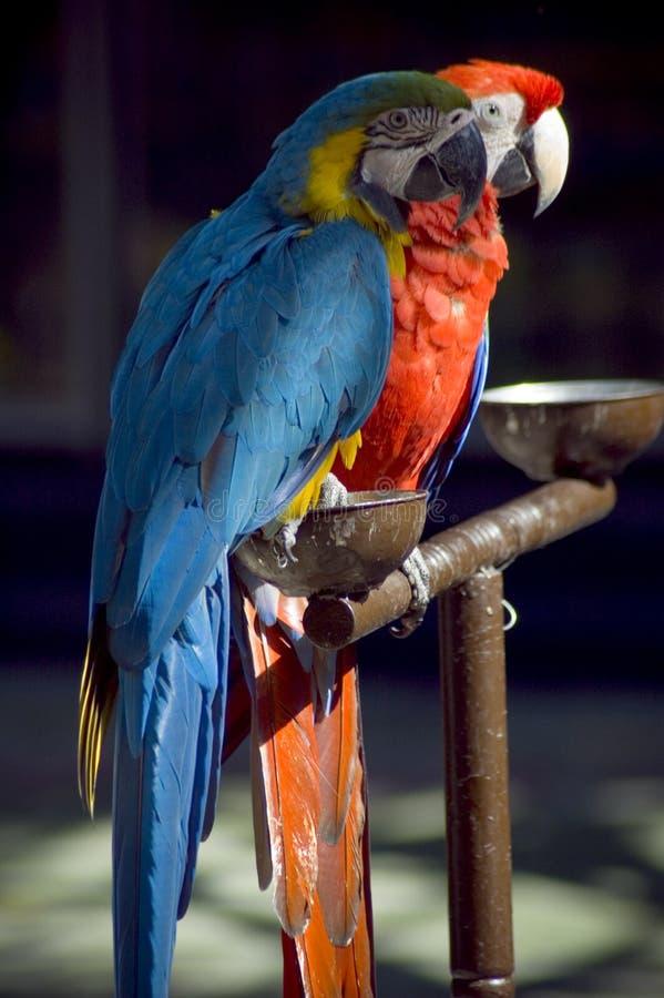 Papagaios foto de stock royalty free