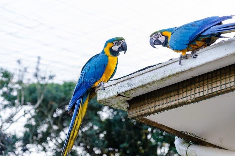 Papagaios azuis em pássaros de Eden na baía África do Sul de Plettenberg fotos de stock royalty free