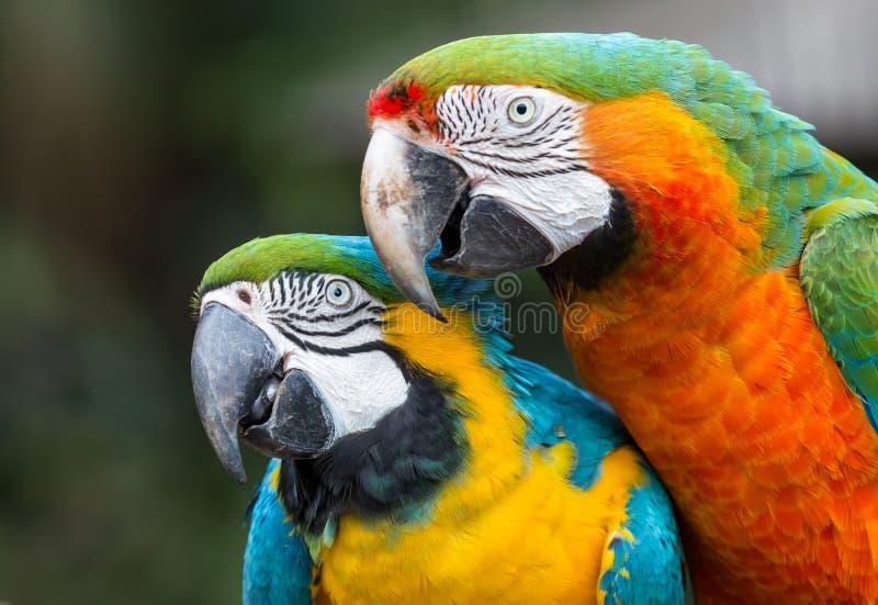 Papagaios bonitos da arara com penas multi-coloridas foto de stock royalty free