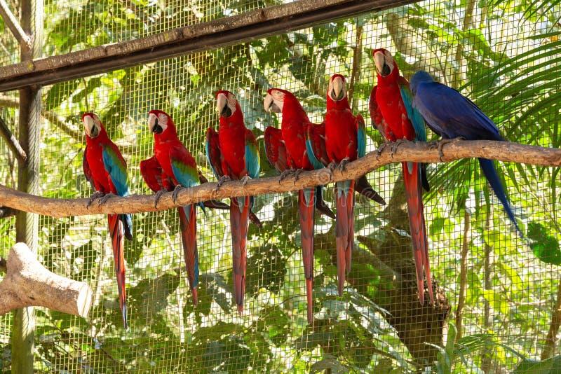 papagaios coloridos da arara no aviário imagem de stock royalty free