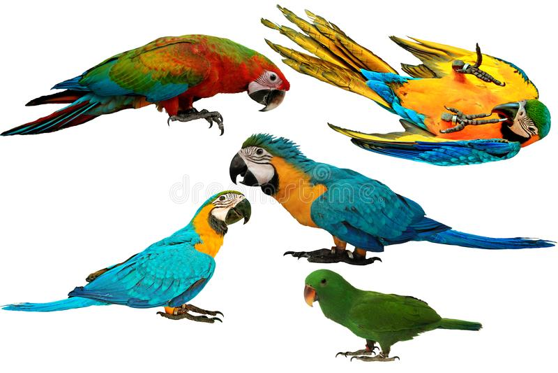 Papagaios coloridos isolados no fundo branco foto de stock