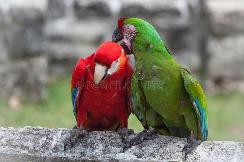Papagaios das aros no amor imagens de stock royalty free