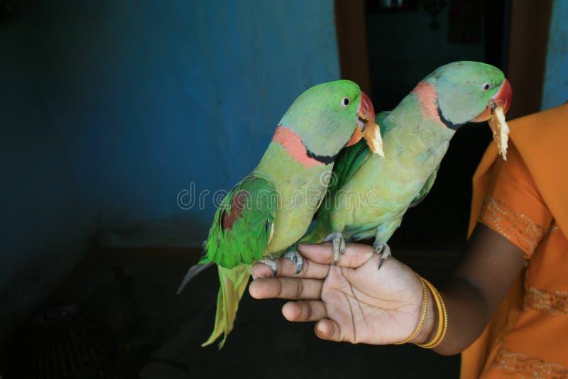 Papagaios do animal de estimação foto de stock