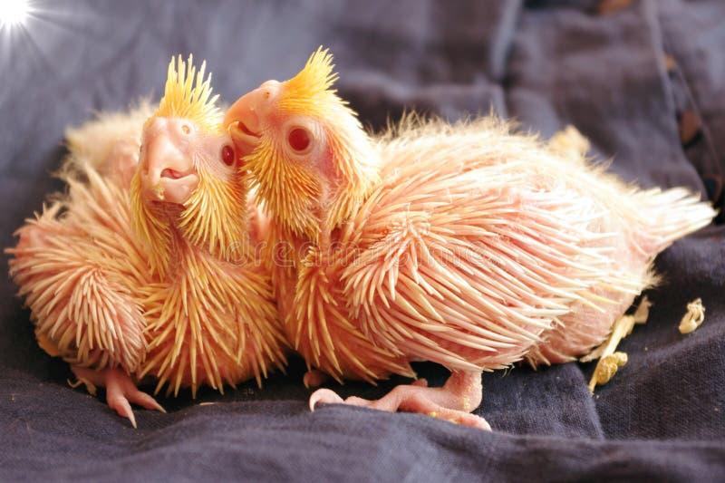 Papagaios do bebê fotografia de stock