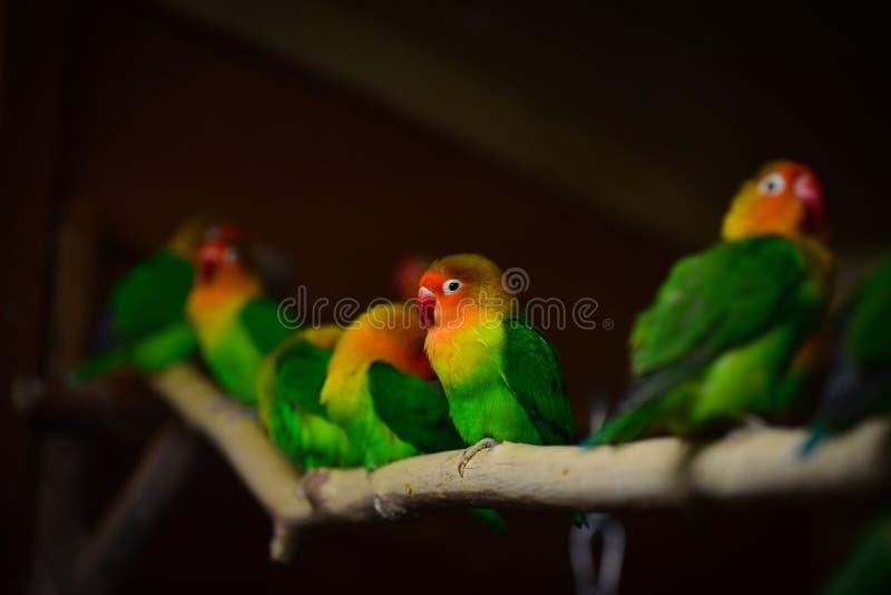 Papagaios do periquito de Fischer foto de stock royalty free
