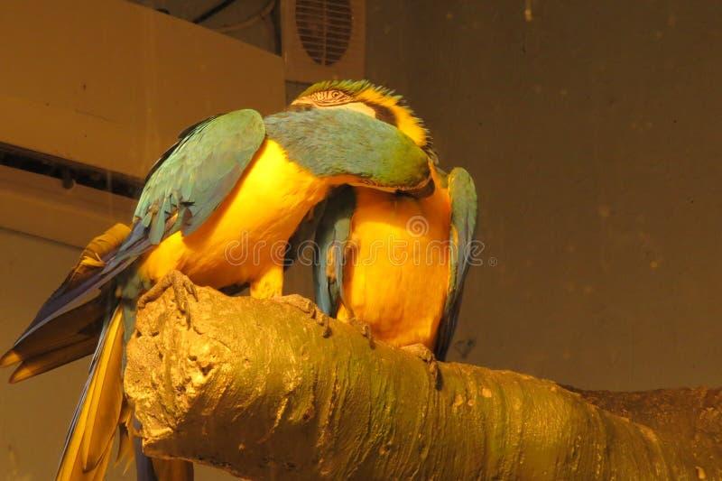 Papagaios fascinados no parque foto de stock royalty free