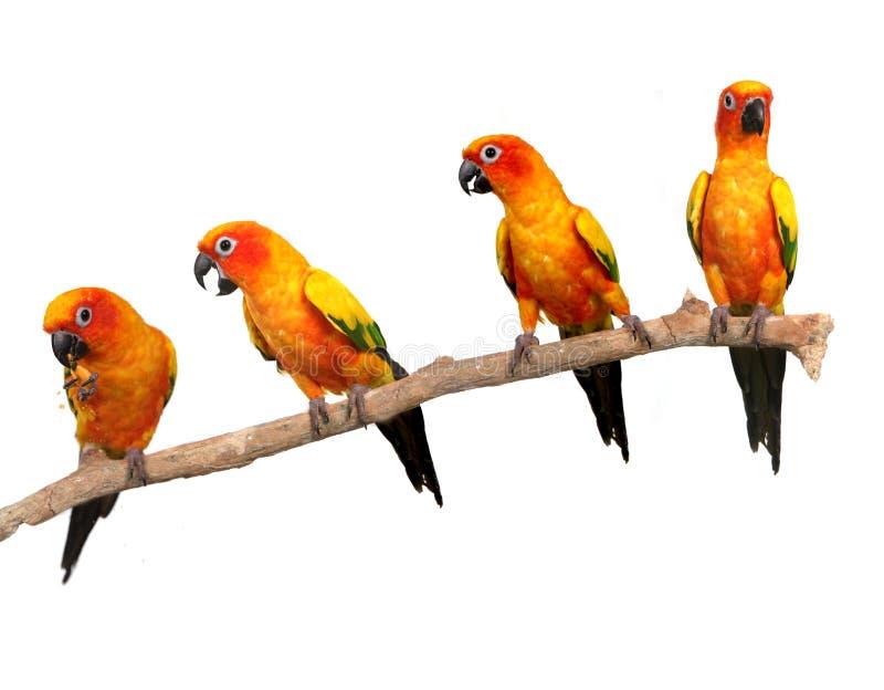 Papagaios felizes de Sun Conure em uma vara em Backg branco fotos de stock royalty free