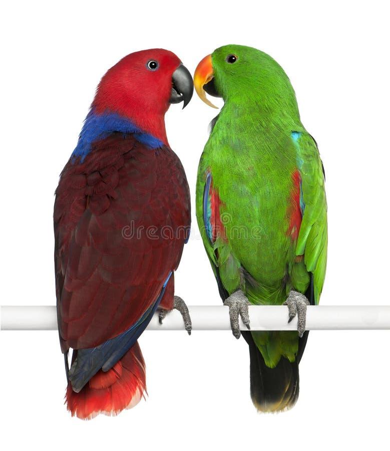 Papagaios masculinos e fêmeas de Eclectus foto de stock