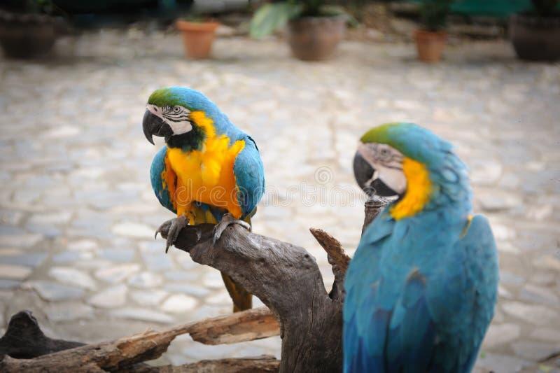 Papagaios selvagens do bule duplo foto de stock royalty free