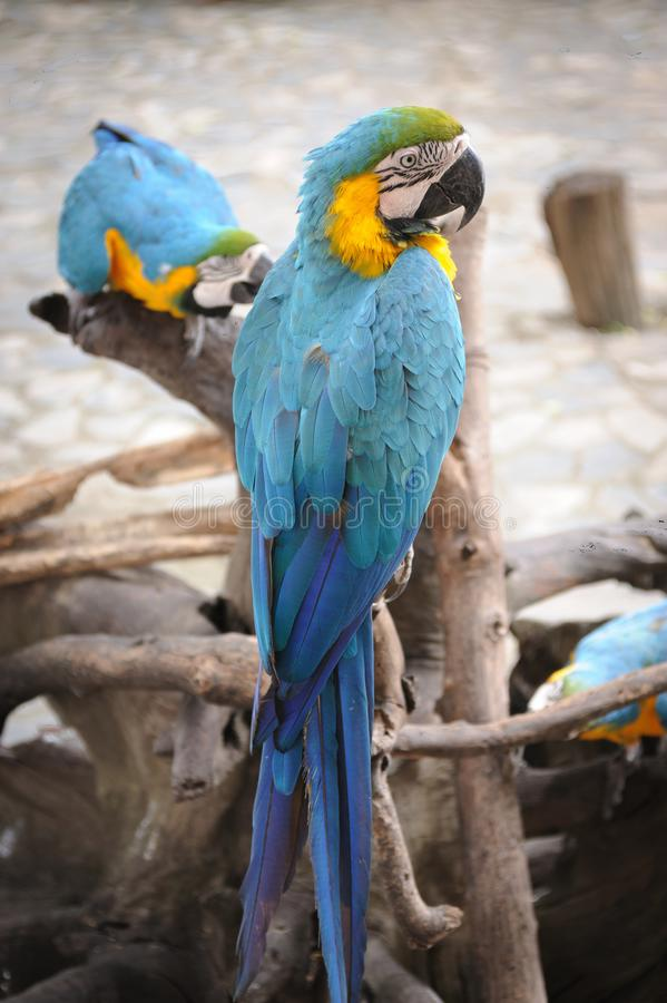 Papagaios selvagens do bule duplo fotografia de stock