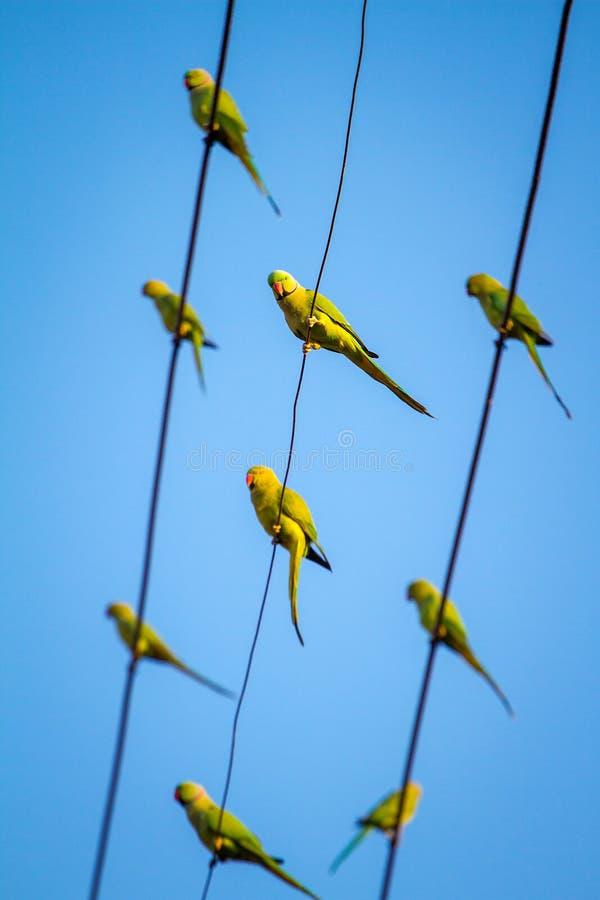 Papagaios verdes do periquito de Ringnecked do indiano fotografia de stock