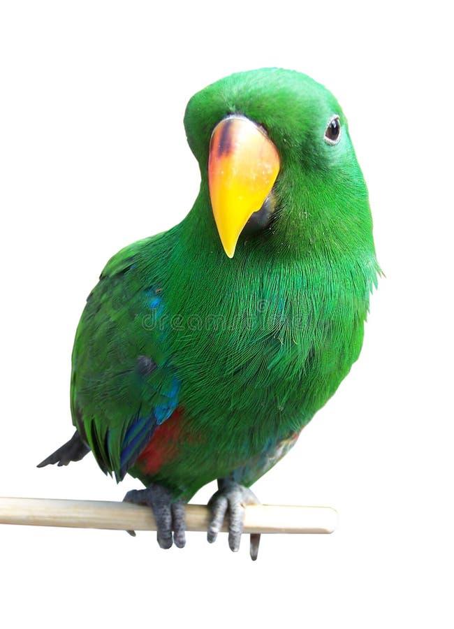 Papagei lizenzfreie stockfotografie