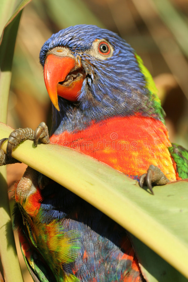 Papagei 2 lizenzfreie stockfotografie