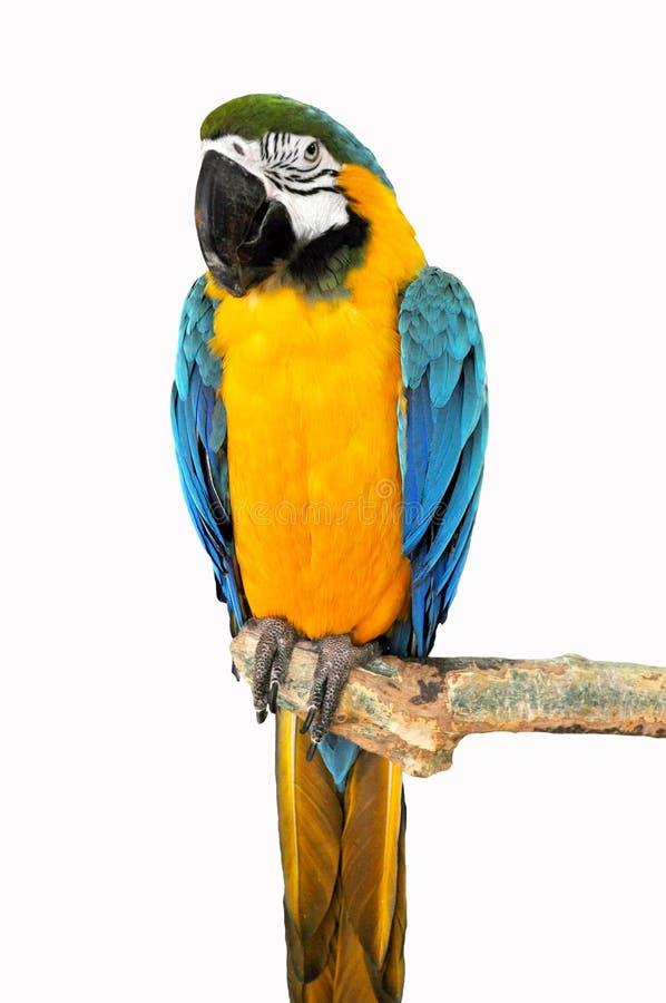 Papagei auf einem Zweig stockfotografie