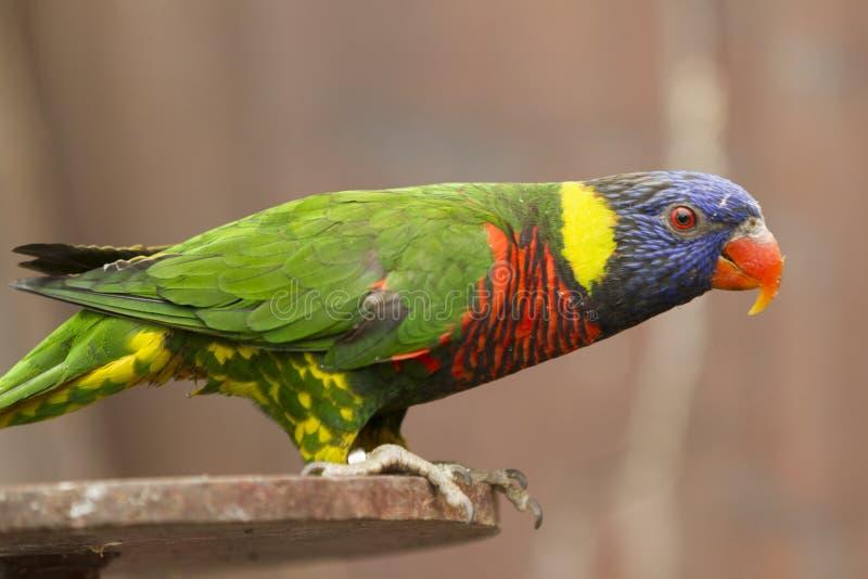 Papagei auf Stange lizenzfreie stockfotografie