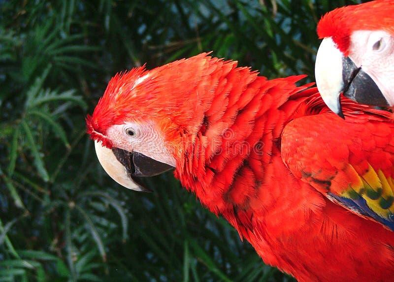 Papagei in Cancun stockbilder