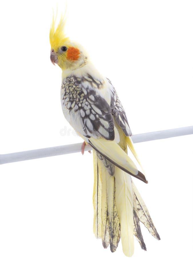 Papagei Corella lizenzfreies stockfoto