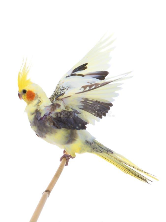 Papagei Corella lokalisierte stockbilder