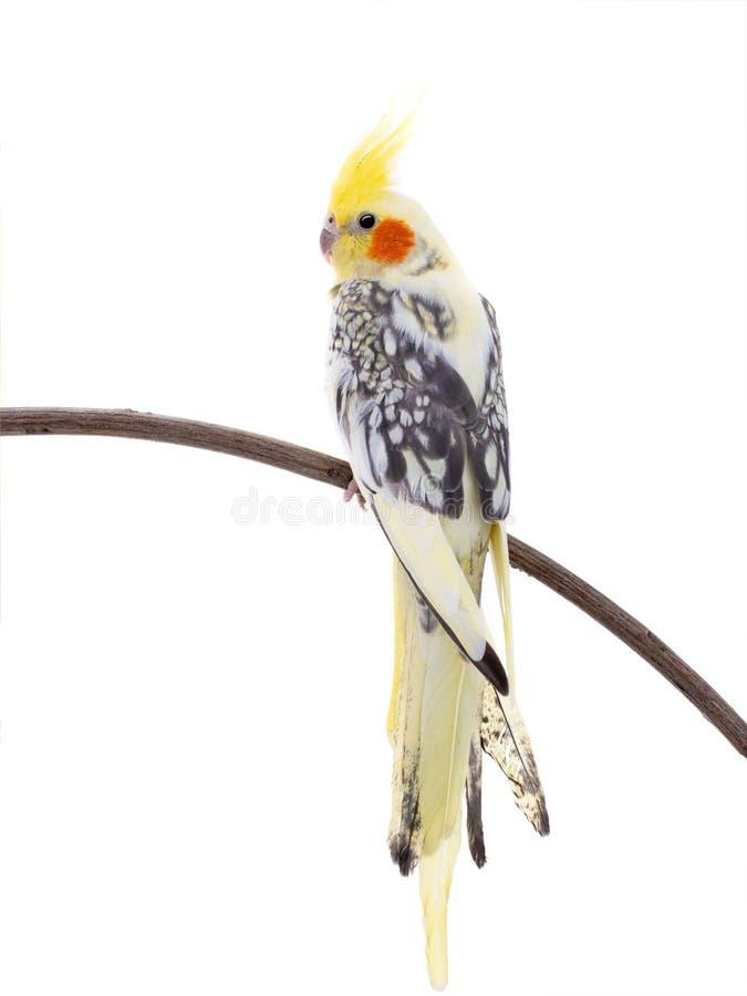 Papagei Corella lokalisierte stockfoto