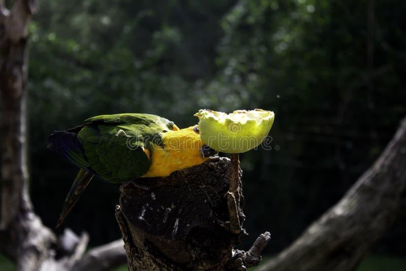 Papagei, der Apfel isst lizenzfreie stockfotografie