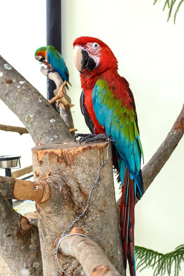 Papagei in der Gefangenschaft lizenzfreie stockbilder