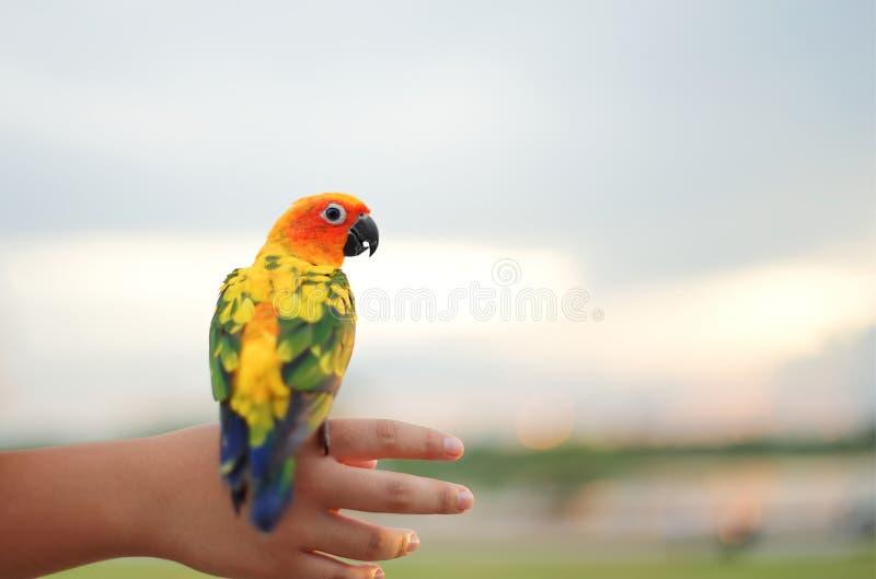 Papagei, der an kleines Kinderhand hält: Nahaufnahme lizenzfreie stockfotografie