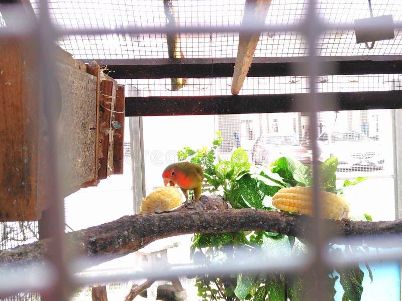 Papagei, der Mais isst lizenzfreie stockfotos