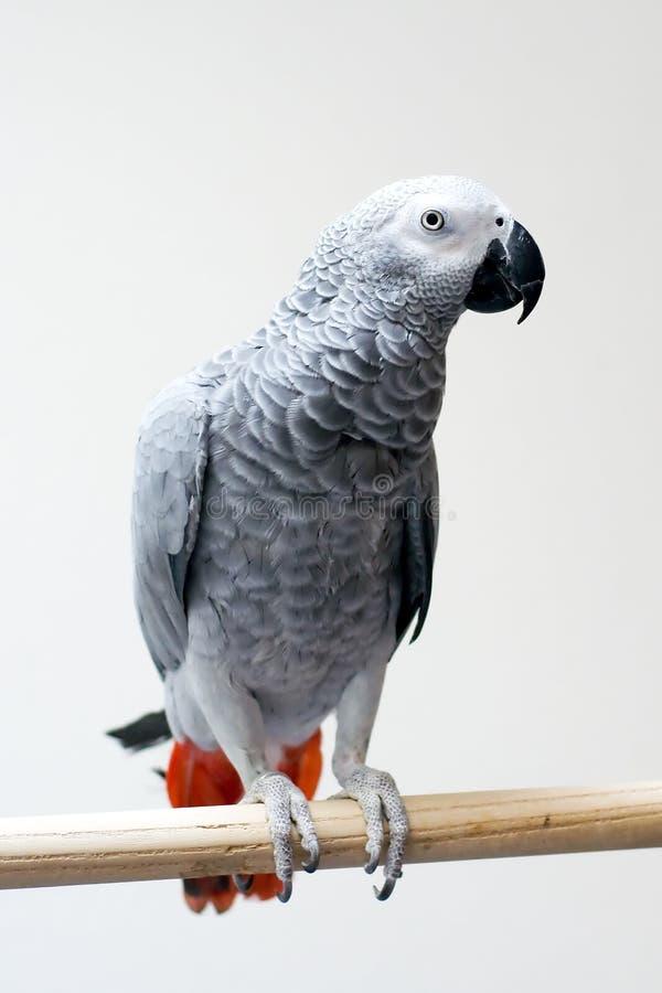 Papagei des afrikanischen Graus stockfotografie