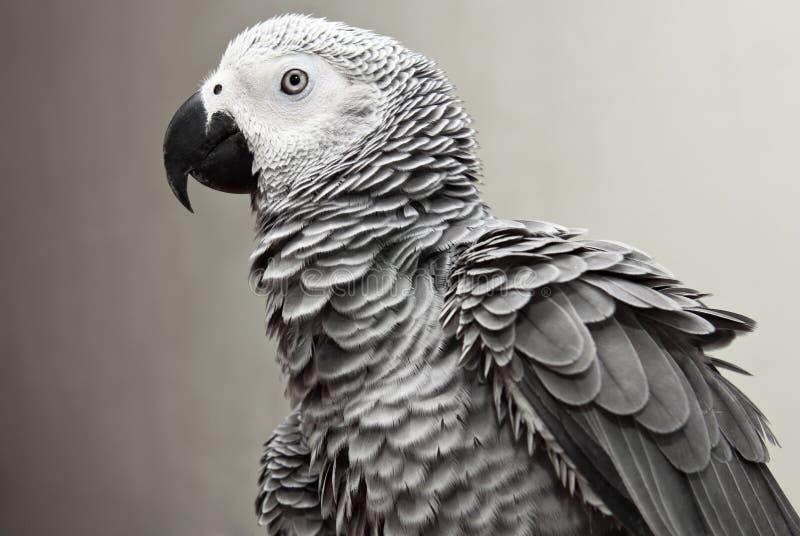 Papagei des afrikanischen Graus lizenzfreie stockbilder
