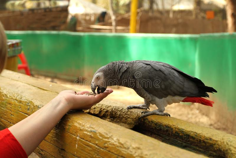 Papagei isst Samen von den Händen stockbild