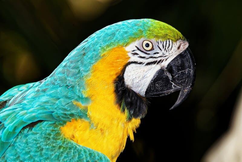 Papagei mit Gelb und Türkis-Gefieder lizenzfreies stockfoto