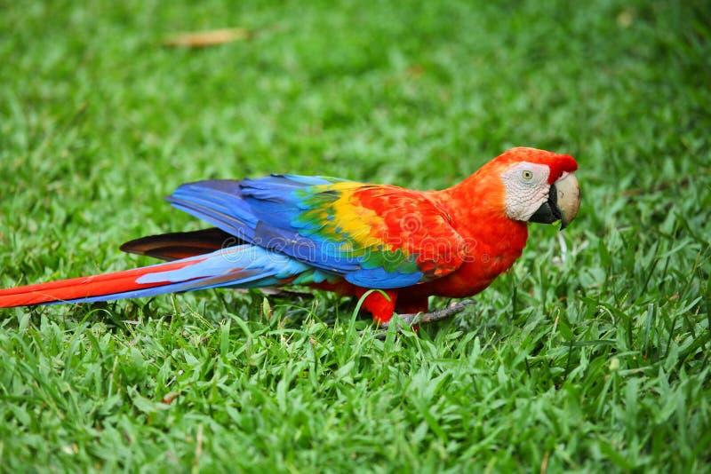 Papagei: Scharlachrot Macaw lizenzfreie stockfotografie