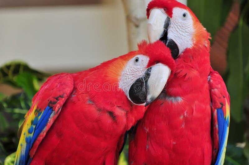 Papageien lizenzfreie stockfotos